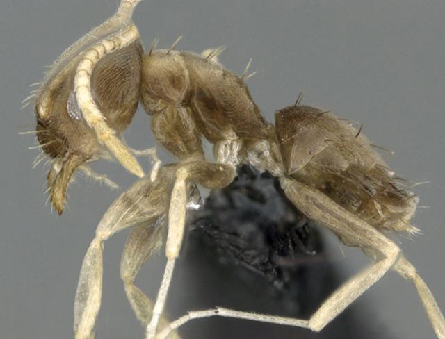 塞苦尼亚蚁