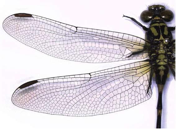 蜻蜓的翅膀(左上角黑色部分为翅痣)