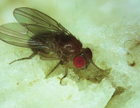 模式昆虫——果蝇