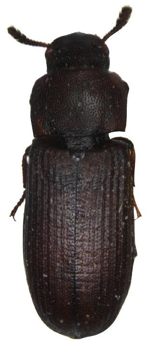 模式昆虫——赤拟谷盗