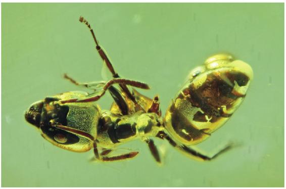 波罗的海的蚂蚁琥珀化石