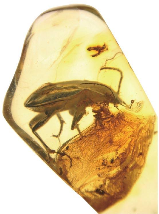 波罗的海的步甲琥珀化石