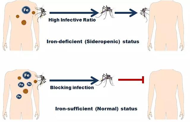 向宿主体内补铁可以阻断蚊虫携带并传播登革病毒