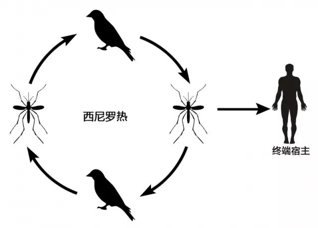 西尼罗热传染病的传播循环