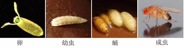 果蝇的生活史