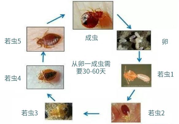 臭虫的生命周期