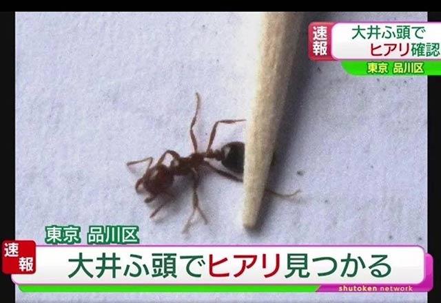 东京出现红火蚁