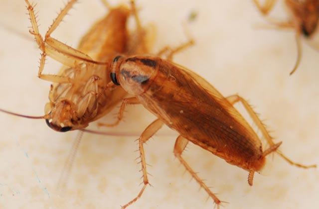 蟑螂(德国小蠊)