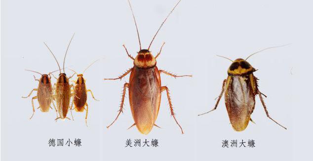 家庭常见蟑螂
