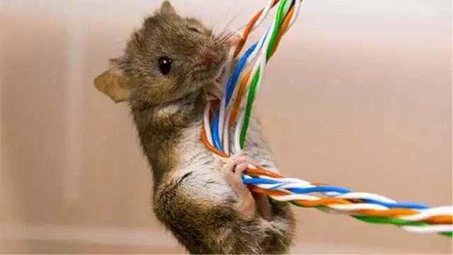 老鼠咬断光纤电缆