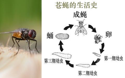 """家蝇的""""一生"""",完全变态生活史,卵,幼虫,蛹和成虫"""