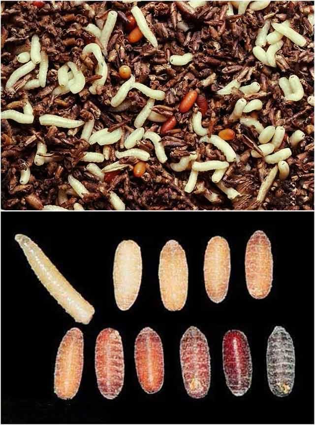 在寒冷的冬天可以以蛹的形态越冬
