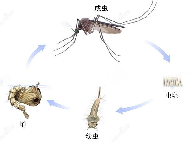 蚊虫生活史