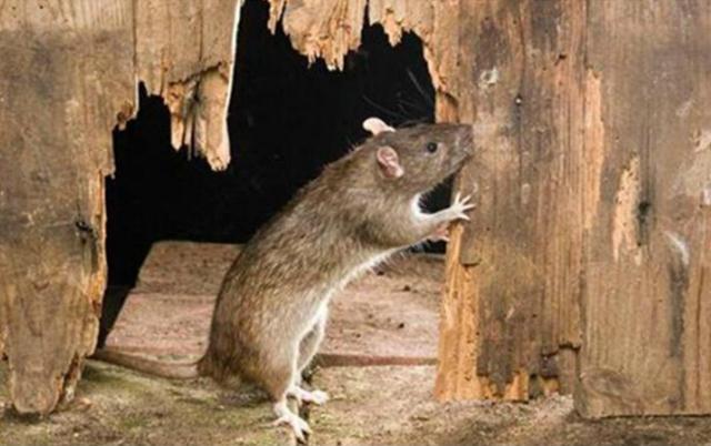 老鼠打洞并啃咬木材