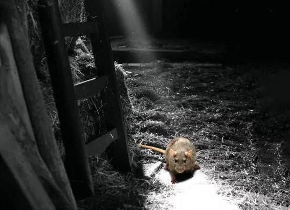 在下水道内行走的老鼠