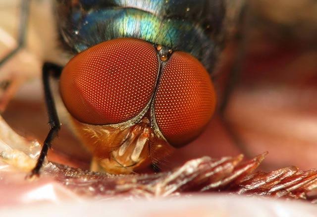 苍蝇复眼大,视觉范围广
