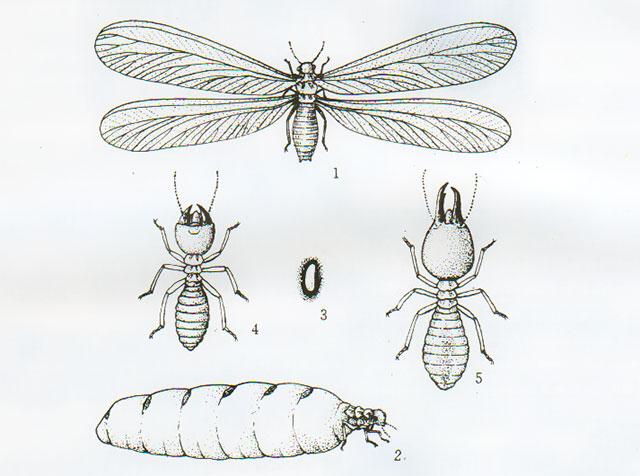 黑翅土白蚁