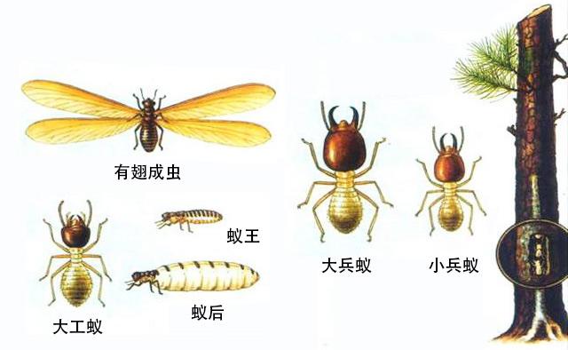 黄翅大白蚁