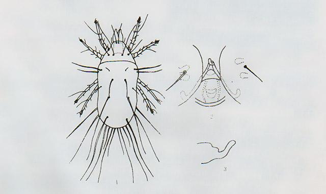 腐食酪螨(螨虫)
