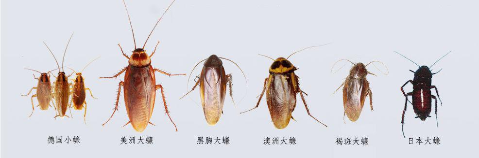 了解蟑螂种类以及蟑螂怎么消灭