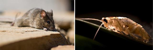 老鼠和蟑螂