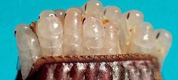 卵鞘内的蟑螂