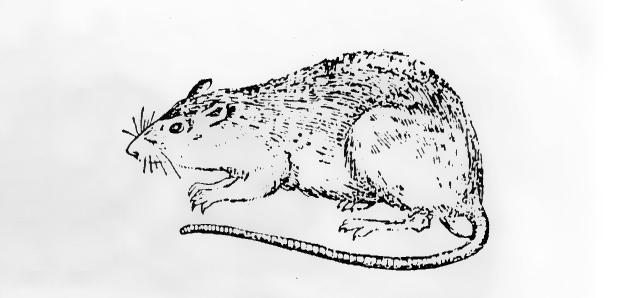 家庭鼠害褐家鼠