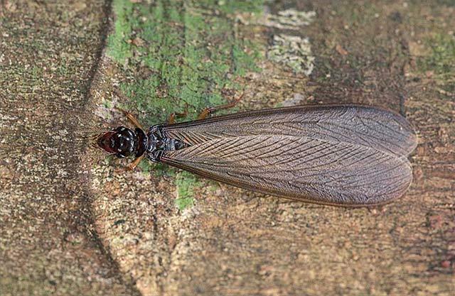 白蚁繁殖蚁