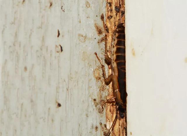 木门,木构件是蟑螂藏身处