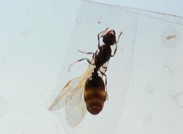 长翅的蚂蚁