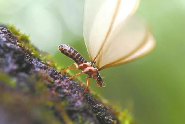 长翅的白蚁