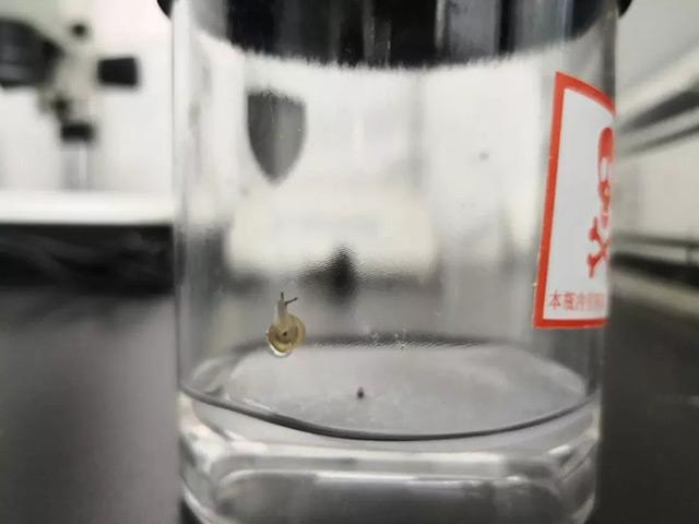 诱蚊诱卵器内的入侵物种