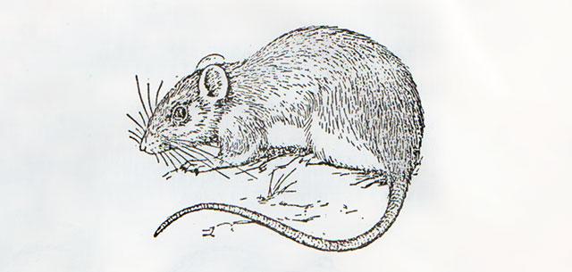 黄毛鼠 拟家鼠罗赛鼠小黄腹鼠