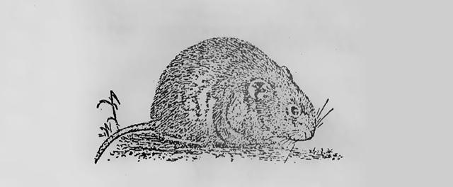 大仓鼠的危害以及有效防治方法