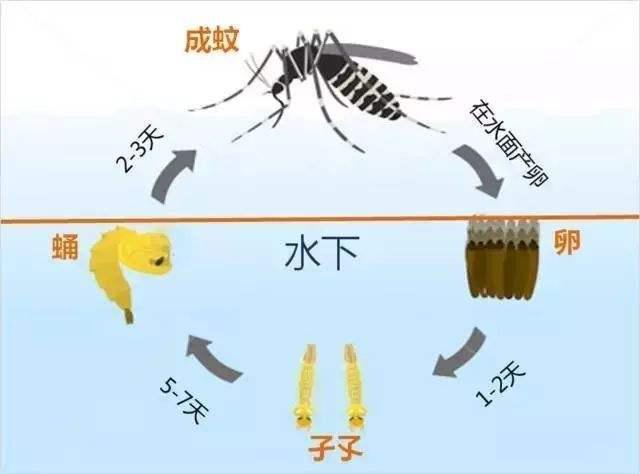 蚊子生活史