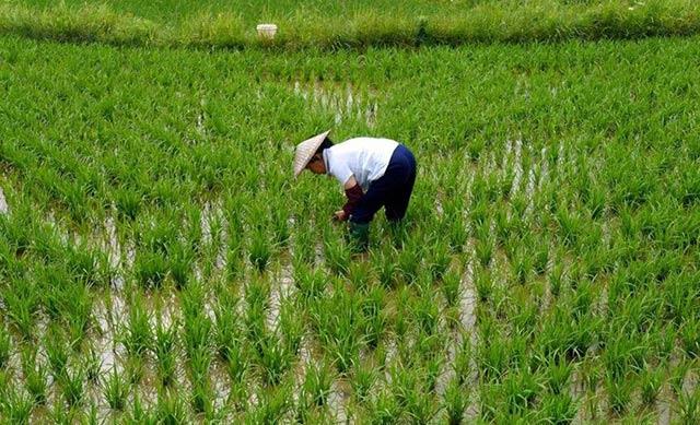 除草剂麦草畏和除草醚使用范围及防除方法