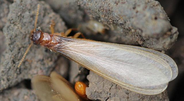家白蚁繁殖蚁