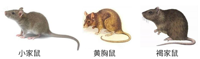 小家鼠黄胸鼠褐家鼠