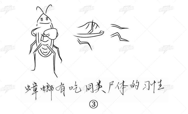 大蟑螂有在窝内吃同类尸体的习性