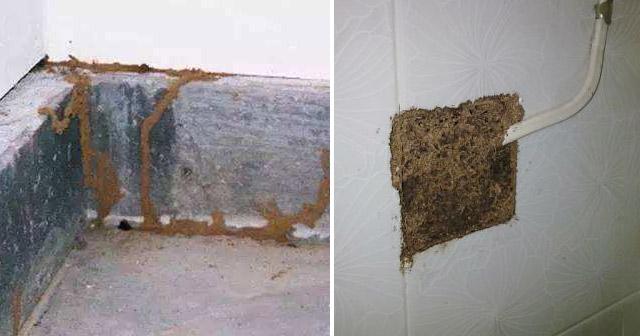 白蚁蚁路和排泄物