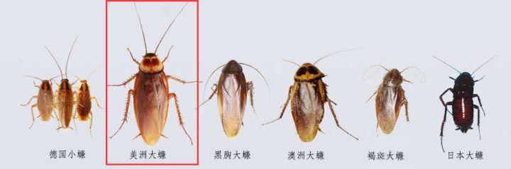 不同蟑螂種類