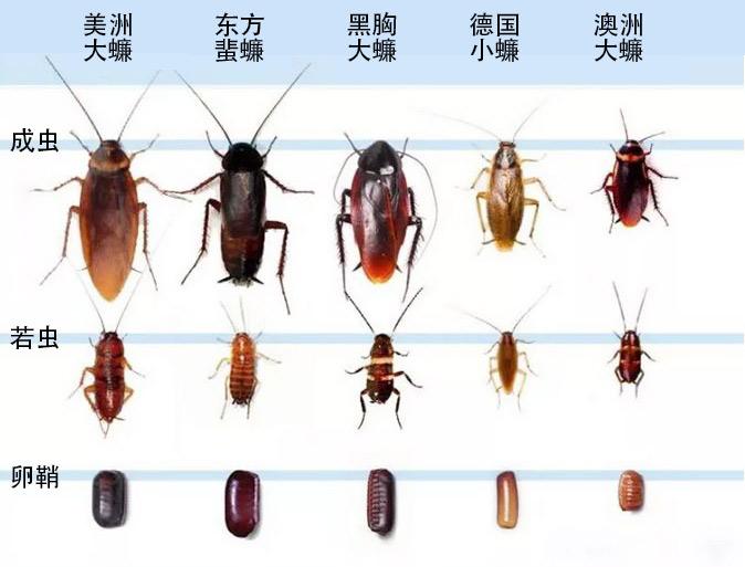 不同蟑螂种类