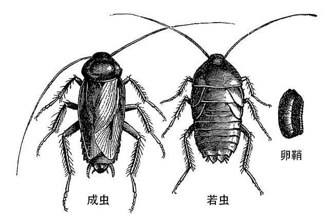 蟑螂的发育过程