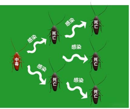 蟑螂互相传染毒性