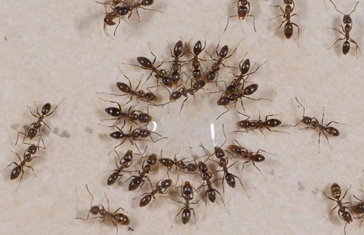 蚂蚁被胶饵引诱