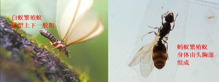 白蚁繁殖蚁和蚂蚁繁殖蚁