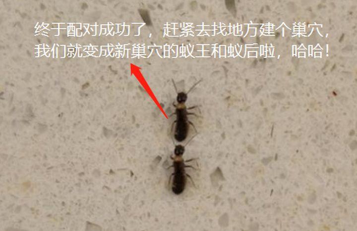 配对成功的繁殖蚁