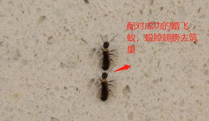 已经成功配对的繁殖蚁
