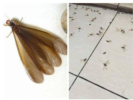 有翅繁殖蚁