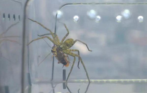 高脚蜘蛛是蟑螂天敌